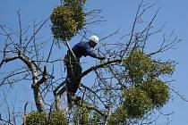 Odborníci ošetřují jabloně v historické aleji ovocných dřevin na Hradisku u Rožnova pod Radhoštěm; duben 2020