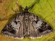 Pracovníci Muzea regionu Valašsko objevili po více než sto letech v Přírodní rezervaci Makyta v Huslenkách vzácného nočního motýla šedovníčka horského.