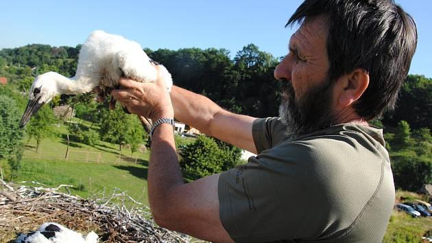 Ochránci přírody z Valašského Meziříčí kroužkují novou populaci čápů bílých v regionu.