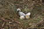 Sledování obsazenosti hnízd čápa bílého v okrese Vsetín