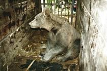 Nejslavnějšího valašského medvěda - Míšu z Brodské odchytili 4. srpna 2000.
