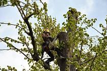 Arboristé vybavení lany, motorovými a ručními pilami a dalším stromolezeckým nářadím v úterý 25. dubna 2017 ošetřili dvě památné lípy velkolisté v Hrachovci u Valašského Meziříčí.