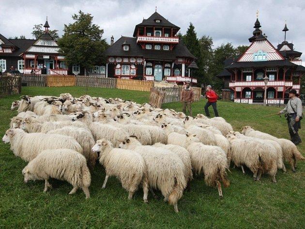 Pasení ovcí na Pustevnách.