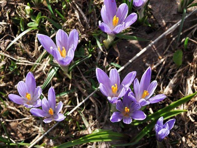 V Lačnově na Hornolidečsku rozkvetly vzácné šafrány