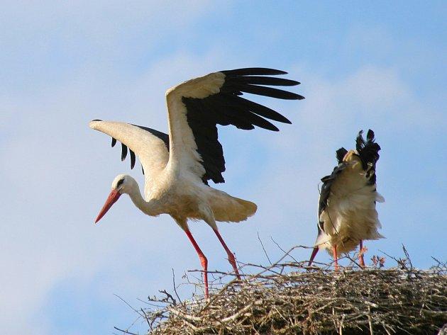 Čapí rodinka, která hnízdí v Huslenkách přímo nad kolejištěm, se stala vítanou atrakcí.
