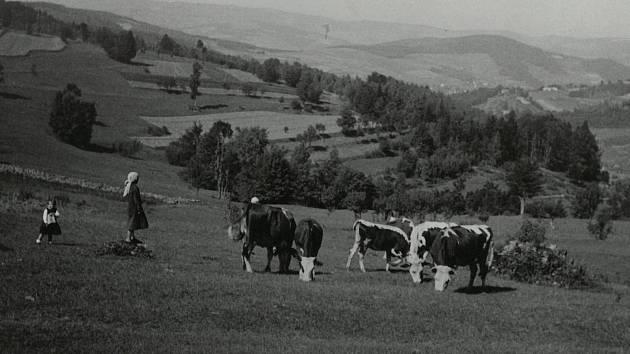 Malé pasačky krav. Dušná 1934.