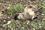Na pomezí Lidečka a Pulčína na Hornolidečsku zardousili vlci tři ovce plemene Suffolk. Ochránci přírody, kterým zabité kusy patřily, objevili roztrhaná zvířata v sobotu 16. listopadu 2019.
