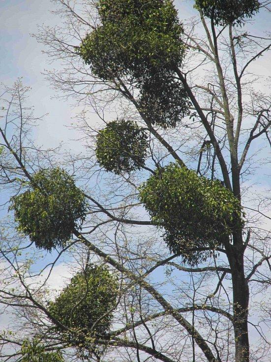 Cizopasné jmelí strom postupně zničí.