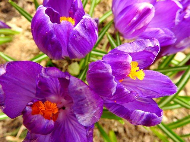Šafrány už kvetou