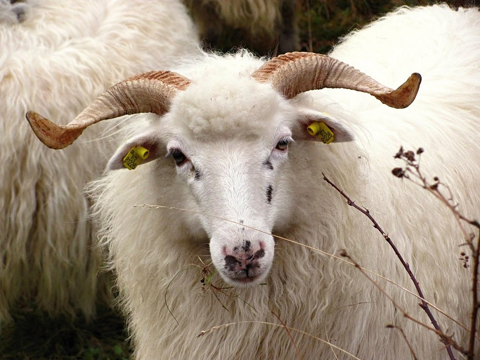 Ovce valaška.