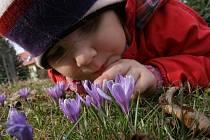 V Lačnově na několika místech rozkvetly tisíce květů šafránu.
