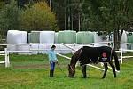 Příprava dostihových koní ve stáji Valencio ve Velkých Karlovicích; Velké Karlovice, pátek 9. října 2020