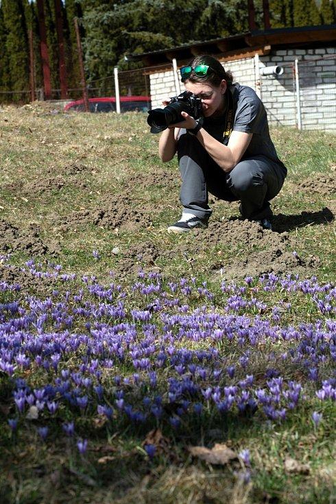 Kvetoucí kriticky ohrožený šafrán bělokvětý v Lačnově na Hornolidečsku.
