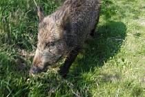 Divoké prase je podle myslivců velmi chytré a plaché zvíře. Lovcům se schovává především v zemědělských monokulturách.