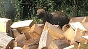 Medvěd, kterého vyfotili 13. září 2018 v údolí Vranča v Novém Hrozenkově