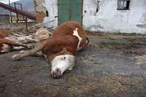 Na farmě ve Střelné uhynuly krávy. Bylo to týrání?