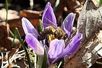 Kvetoucí šafrán bělokvětý v Lačnově.