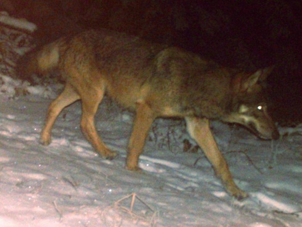 Vlk zachycený fotopastí v Javorníkách v sezoně 2017/2018.