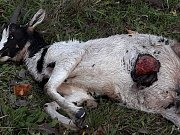 V úterý 9. října 2018 navštívil medvěd místní část Vsetína - Červenku. Z dvanácti koz dvě roztrhal, šest majitelé nenašli.