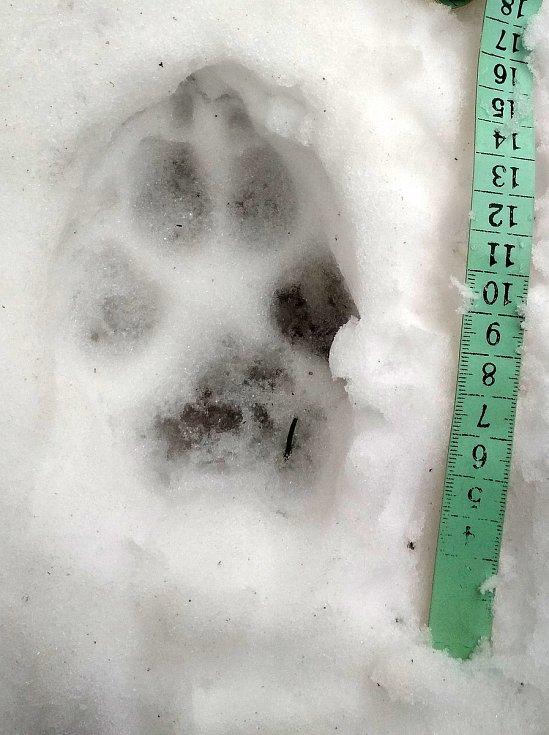 Stopa vlka nalezená při letošním mapování velkých šelem v Beskydech; únor 2020