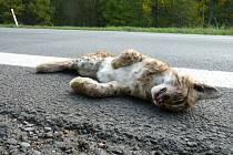 Mládě rysa ostrovida srazilo v neděli navečer auto na silnici mezi Lužnou a Lidečkem. V místě, kterému se říká Lomensko.