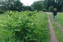Invazivní rostlina napadá cyklostezku ve Valašském Meziříčí.