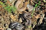 V zahradě domu v Karlovicích odchytili hasiči čtyři zmije