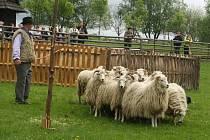 V sobotu se ve Valašské dědině konal Velký redyk. Bača s pasteveckým psem vyhnali stádo ovcí na pastvu.