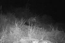 Do Podlesí se zatoulal medvěd. Zachytila ho fotopast.