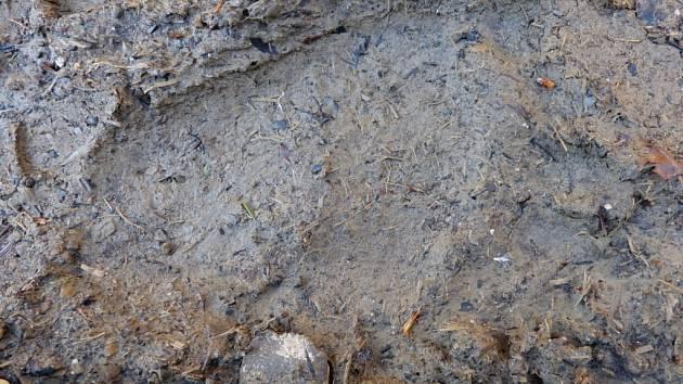Ochráncům přírody se na Valašsku podařil vzácný úlovek. V Raťkově v Karolince na Horním Vsacku pořídili fotografie stop medvěda, který se v současné době po regionu pohybuje.