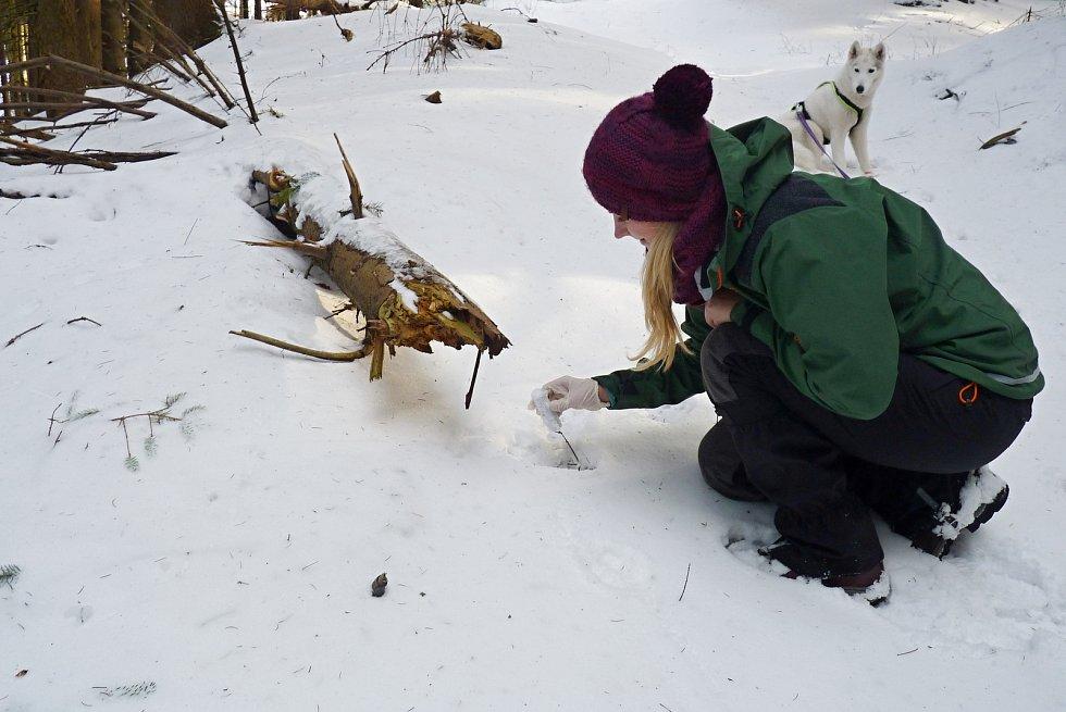 Ochránkyně přírody odebírá v terénu vzorky při letošním mapování velkých šelem v Beskydech; únor 2020