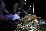 Ochránci přírody zapisují míry uspané medvědice, kterou v pondělí 8. dubna 2019 odchytili do speciální klece v oblasti Lysé hory v Beskydech.