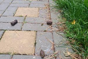 Psí exkrementy sužují zejména sídliště. Nejen ve vsetínské části Rokytnice si pejskaři s úklidem hlavu nelámou.