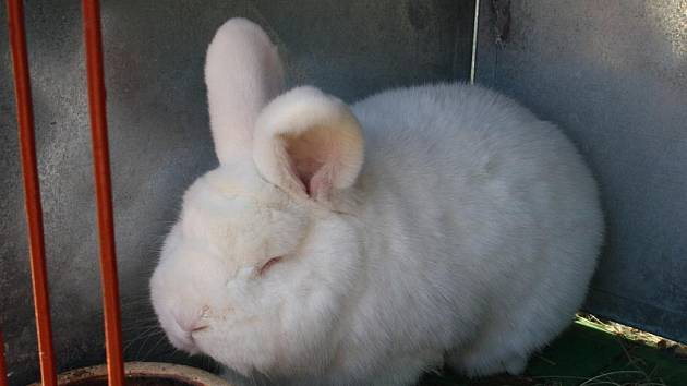 Návštěvníci okresní výstavy zhlédli králíky, drůbež i holuby.