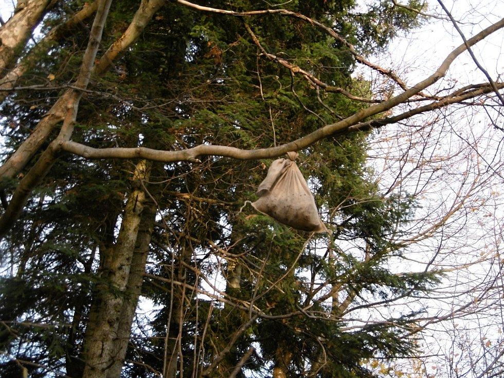 Tým expertů vytvářel od pondělí 5. listopadu 2018 pachové stopy na Karlovicku. Lákají medvěda ke kleci. Jedna ze stop je zavěšená vysoko na stromě.