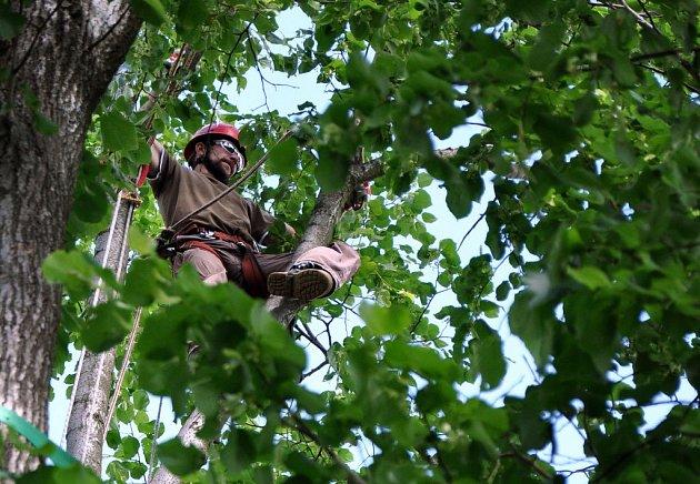 Stromolezci ošetřují v pátek 15. června 2012 čtyři sta padesát let starou památnou Kobzovu Lípu ve Francově Lhotě