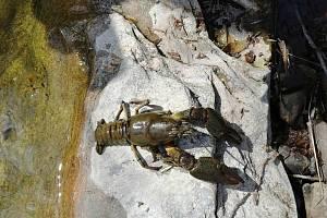Uhynulí raci objevení v řece Bečvě v Prostřední Bečvě. Příčinou je račí mor; duben 2020
