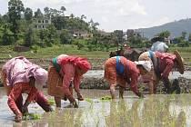 Vysazování rýže
