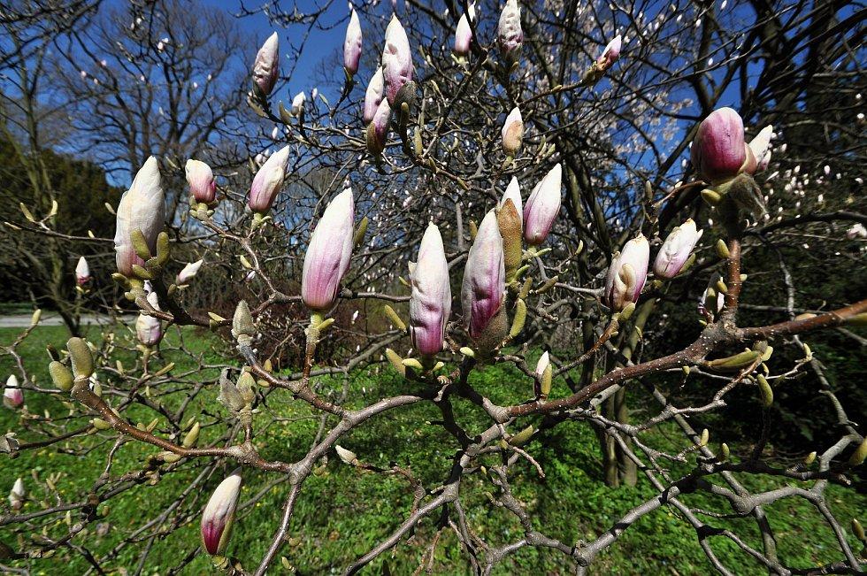 Rozkvétající magnolie v parku u Zámku Lešná u Valašského Meziříčí.