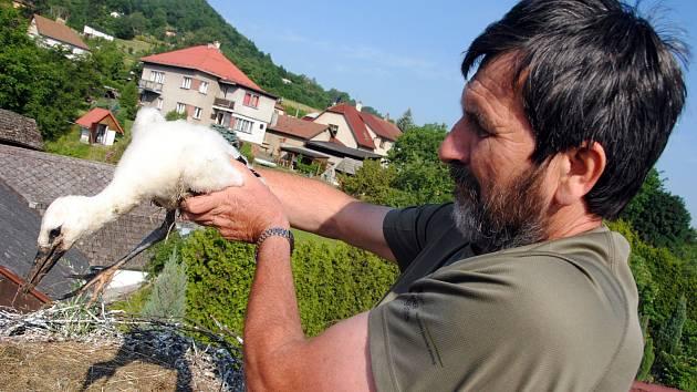 Ornitolog a ochránce přírody Miroslav Dvorský kroužkuje ve středu 19. června 2019 mládě čápa bílého v hnízdě v Jarcové na Valašskomeziříčsku.