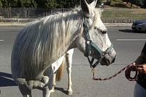 Splašený kůň běžel v sobotu dopoledne částí Horní Bečvy Bečice a ohrožoval motoristy.