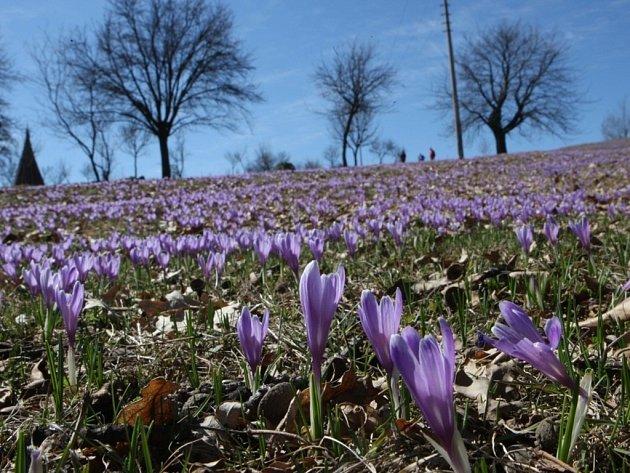 Kvetoucí šafrán bělokvětý na louce v Lačnově.