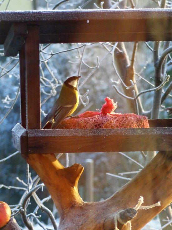 Novoroční snídaně sýkorek a červenek.