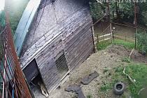Lvice Ljůva se dělí o výběh se sedmiletým samcem Fufim. Automatický systém otevírá dveře a pouští je ven na střídačku.