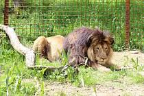 Sále populárnější lev Fufi žije ve Zděchově.