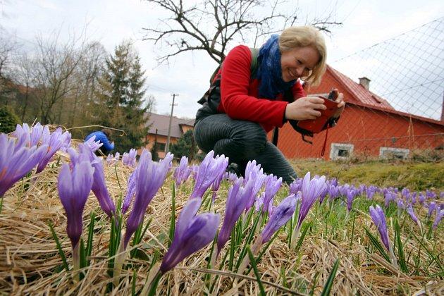 Rozkvetlý Šafrán bělokvětý (Crocus albiflorus; synonymum: Crocus vernus subsp. albiflorus) v Lačnově.