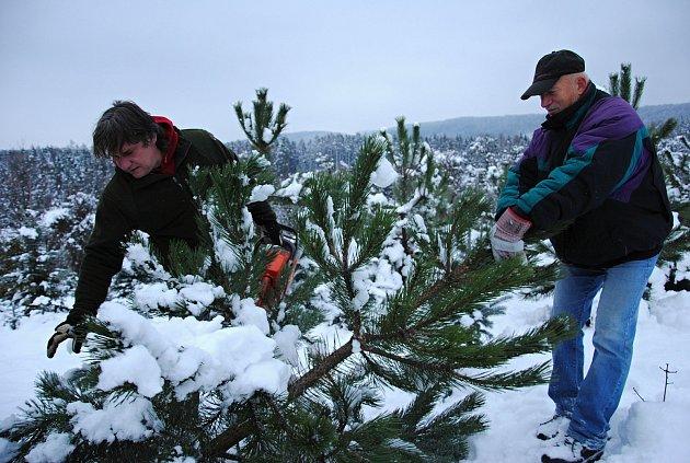 Pracovníci společnosti Městské lesy a zeleň ve Valašském Meziříčí zahájili v pondělí 4. prosince 2017 na plantáži v Podlesí prodej vánočních stromků.