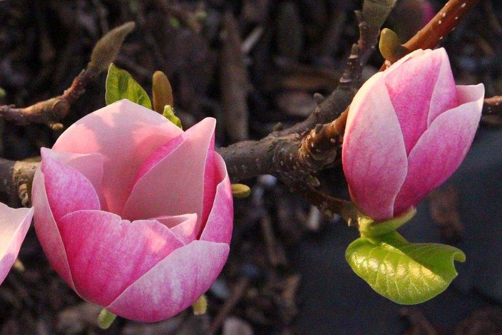 Ve Vsetíně v Panské zahradě roste magnolie