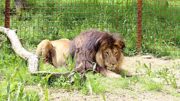 Lev Fufi, který se o výběh ve Zděchově dělí se lvicí Ljůvou.