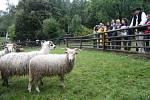 Karpatský redyk je u konce. Do rožnovského skanzenu doputovaly ovce z Rumunska.